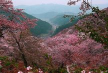cherry .blossoms.fruit and flowers