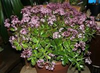 Getting your Jade plant to bloom / Jade plant