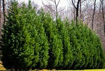Evergreen Conifer Tree Favorites