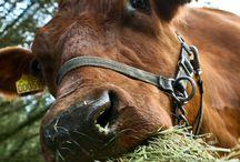 Gosekor och lantbruk