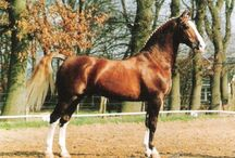 Gelderlander / country of origin - Netherlands | average height ca. 167 cm | colours - predominantly chestnut, black, bay/brown, grey, pinto patterns (sabino, rarely tobiano) | uses - driving, dressage, show jumping