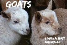 Goats / All about Goats