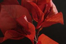 Bougainvillea spectabilis / Fotografia naturaleza
