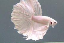 Betta fish / I wanna start breeding betta fish and I'm looking for ideas