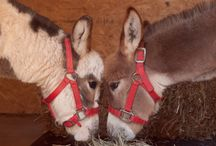 """At the Ranch / Take a peek at our """"mini"""" ranch. A couple Miniature Donkeys, one Miniature Horse, regular sized Llamas, and new comers on the way!"""