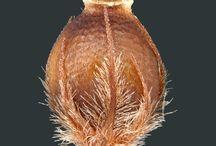 Rhynchospora