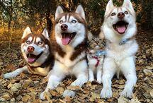 huskies for life❤️