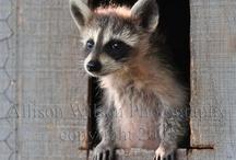 raccoons. *^*
