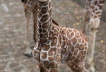 Giraffes / by Jim Barron