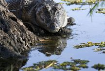 Crocodile, Caiman, Aligator