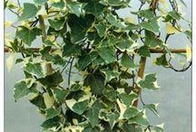Wax ivy - Senecio