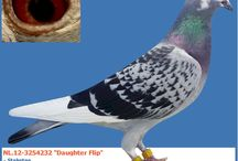 Tip of the day! / Europigeons.nl, here you wil find our Daily tip....