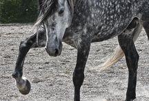 Dapple grey horses