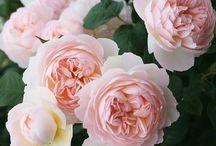 Peonías rosas