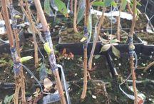 Plantas Pistacho