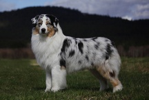 Beautiful Australian Shepherd dogs and a few other dogs deserving recognition.  / A beautiful dog!