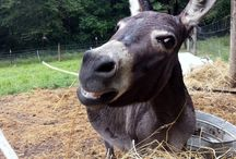 Merida the prego mini-donk. / Follow Media's life leading up to her first delivery very soon.  Stay tuned, and cheer her on