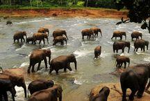 Elephants Filler
