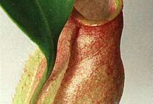 Nepenthes / Nepenthes I am growing
