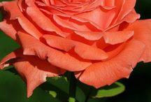 Roses Peach