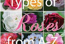 roses & gardenias / by Beverley Gillanders
