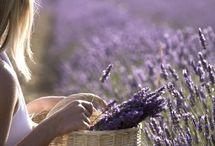 Lavender Lavanda