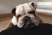 Raffo from Italy / English bulldog
