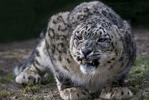 Snow Leopards - my fav big puddy tats!! / Snow Leopards!