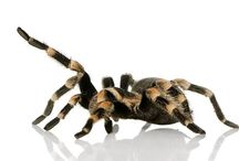 Inverts / We keep a wide range of spiders in store at Evolution Reptiles.