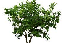 árbol png