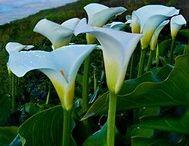 Aurum lillies