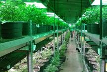 Colorado Cannabis News