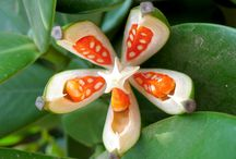 Clusia fruit