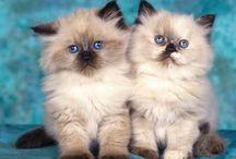 gatos / de pelo largo