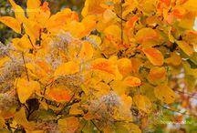 Sövénynek (szárazságtűrő, virágzó)