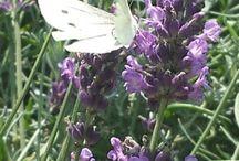 vlinders in de tuin.