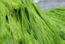 Dxnspirulinaalga.blogspot.com cikkek / Amit a spirulinával kapcsolatban jó tudni. Spirulina cikkek.