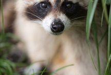 racoon ( енотики )