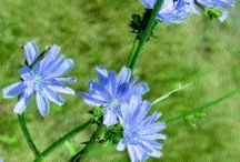 Tips for Growing Chicory / Board dedicated to the world of growing chicory!