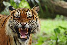 Tigers / #tigers, #bengala, #bigcat, #siberian