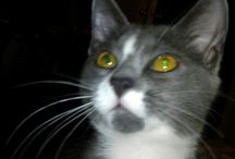 Punky Blue / My beautiful little Punky Blue. She is a gray and white tuxedo cat. Love her so much!