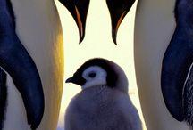 Penguin / Alt om pingviner