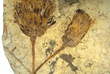 Fossil Flowers.