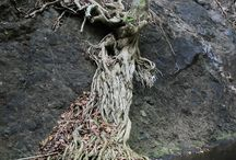 Nature Can Always Find a Way / Even when things don't seem possible nature finds a way to make it work. Like I tree growing with no soil and its roots striving for the nearest source or water.