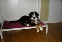 Bernese Mountain Dog / Bernese Mountain Dogs enjoying their Kuranda beds! / by Kuranda Dog Beds