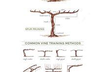 Wine & Vines