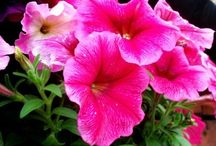 Flowers: Petunias / Growing petunias can offer an array of summer color in the garden, in borders and hanging baskets. Petunia care is easy when armed with the right tools – like planting, pruning, pests and disease, and the different types of petunias available. Find out more about petunias at www.gardeningknowhow.com.