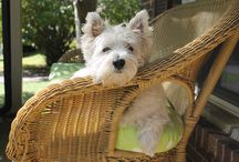 Westies / I have a West Highland Terrier and love them!