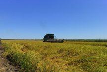Siega del arroz / Arroz del parque natural del Marjal de Pego Fotos: Pego Natura SL
