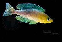 Tanganyika Cichlids / Recopilación de fotografías de los peces del Lago más fascinante del mundo. Pictures of the most world's fascinating Lake cichlids. / by Miguel Mora Hernández